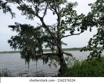 Cypress tree by the river