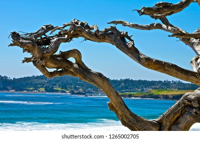 Cypress tree at Carmel-by-the-Sea, California, overlooking Pebble Beach Golf Course. Sunny, waves, bright, clear day.