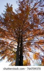 Cypress Tree changing color.