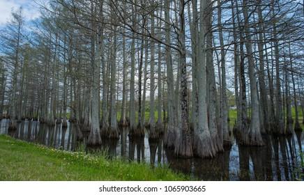 Cypress tree grove