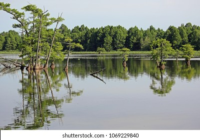 Cypress tree reflection  - Reelfoot Lake State Park, Tennessee