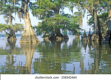 Cypress Trees in the Bayou, Lake Fausse Pointe State Park, Louisiana