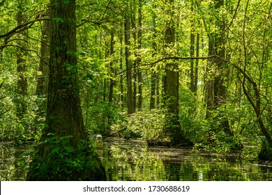 Cypress Trees are Illuminated by the Sunlight in May in an old Millpond.  Kayak and Canoe Paddling is Popular in the Pond.