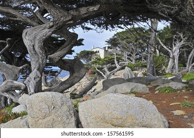 Cypress Trees,  Monterey Peninsular, California