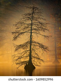 Cypress trees on a foggy morning over the swamp