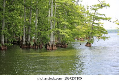 Cypress trees on Reelfoot Lake - Reelfoot Lake State Park, Tennessee