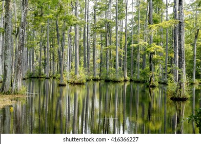 Cypress trees reflecting in the water.