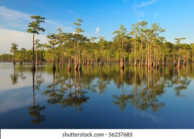 Cypress trees in south georgia swamp, George L smith state park.