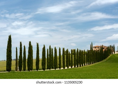 Cypress trees standing along a lane to a Tuscan villa near San Quirico d'Orcia