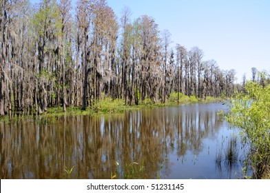 Cypress Trees Standing on Edge of Florida Pond and Marsh Land