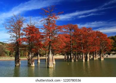 Cypress trees in Sukko lake. Anapa. Russia.