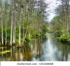 Cypress trees in swamp in Sweetwater Slough on Loop Road in Big Cypress National Preserve in Florida