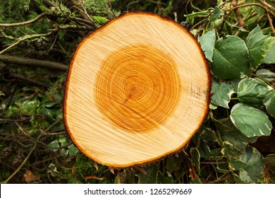 cypress trunk cut with annual growth rings