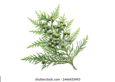 Cypress twig with growing cones isolated on white background. Cupressus