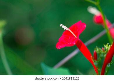 Cypress vine flower, Red, Ipomoea quamoclit (Ganesh Vel)
