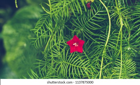 Cypress vine, (Ipomoea quamoclit), tropical American twining climber naturalized in southern North America. It has star-shaped scarlet, pink, or white blooms amid deep green, deeply lobed leaves