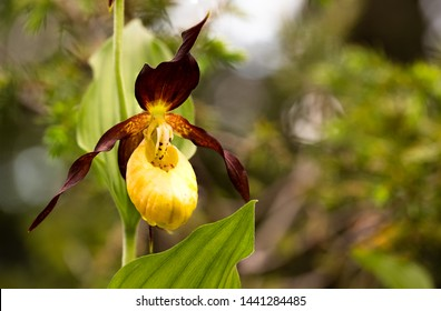 cypripedium calceolus lady's-slipper orchid This is the largest orchid species in Europe