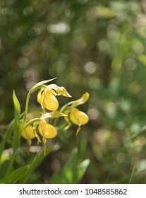 Cypripedium parviflorum or Yellow lady's slipper in the Bow Valley Provincial Park