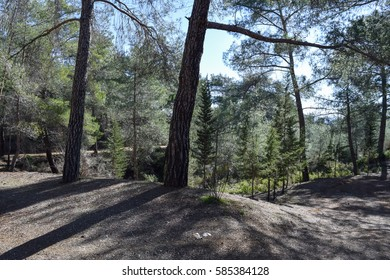 Cyprus endemic pine forest. Troodos mountains pine woods. Native flora of Cyprus island
