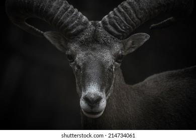 Cyprus Mouflon closeup portrait