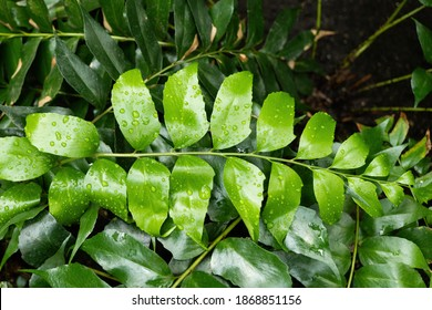 Cyrtomium falcatum, common names: house holly fern or Japanese holly fern, perennial plant native to eastern Asia, family: Dryopteridaceae