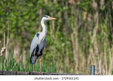Czapla Siwa Grey Heron on the jetty - Shutterstock ID 1729561141
