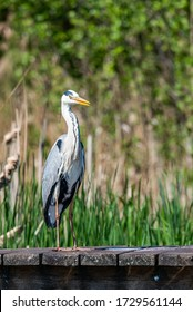 Czapla Siwa Grey Heron on the jetty - Shutterstock ID 1729561144