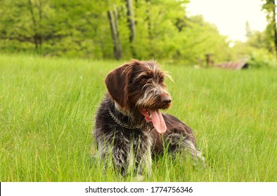 Czech breed of versatile gun dog. Cesky fousek has the beard and moustache. Eager, Loyal, Hardworking, Flexible breed relax in the grass. With his tongue out, he looks at the owner.