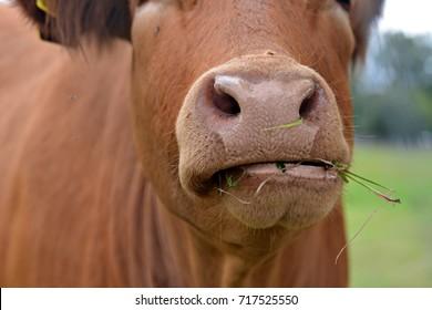 Czech cow