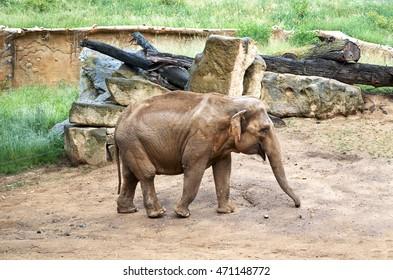 Czech Republic. Prague. Prague Zoo. Elephants. June 12, 2016