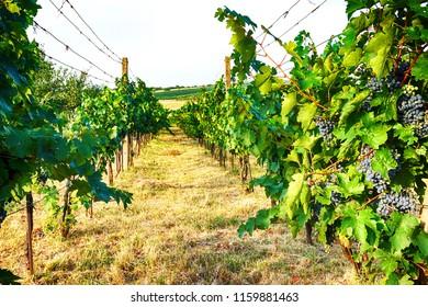 czech vineyards from moravia as very nice background