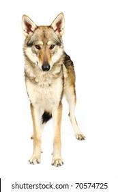 Czechoslovak wolfhound