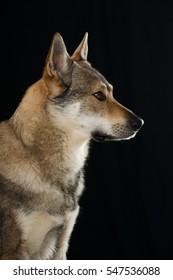 Czechoslovak wolfhound on black background