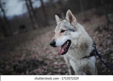 Czechoslovakian wolf in wild nature