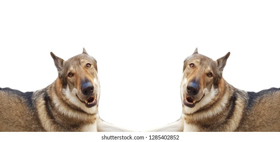 Cane Lupo Cecoslovacco Images Stock Photos Vectors Shutterstock