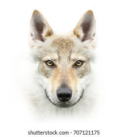 czhekhoslovakian wolfdog face isolated on white