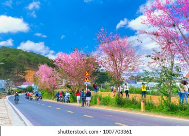 Da Lat, Vietnam - January 13, 2018: Visitors enjoy spring inside cherry tree flamboyance in morning sunshine, all created beauty playful and is typical highlands when spring arrives in Da Lat, Vietnam