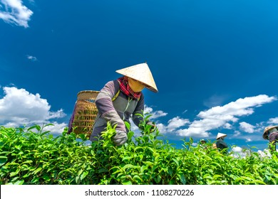 Da Lat, Vietnam - May 11, 2018: Group farmers in labor costume, conical hats harvesting tea in the morning. This is a form collective labor, reflecting culture in highlands Da Lat, Vietnam