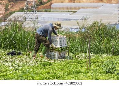 DA LAT, VIETNAM - MAY 15, 2016: Farmer on vegetable field at Suoi Vang lake, Langbiang mountain, Da Lat, Vietnam