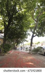 Da Nang City, Vietnam - June 26, 2017: The petals of  (Indian Oak or Freshwater Mangrove) Barringtonia acutangular cover the sidewalks of a street in Da Nang City, Vietnam.