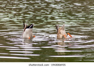 Dabbling mallard duck couple dabbles in a lake as waterbird to find food with orange feet and rump up to search for food on the ground of a garden pond as male and female mallard duck pair