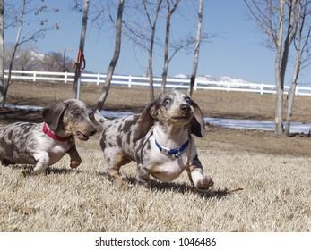 dachshound chase
