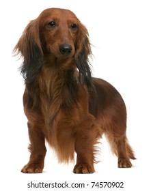 Dachshund, 2 years old, standing in front of white background
