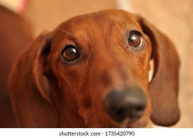 Dachshund mit schönen braunen Augen