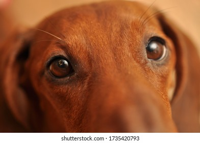 Dachshund with a beautiful brown eyes