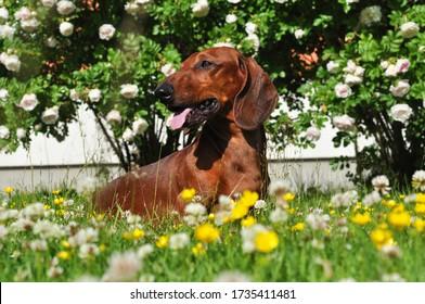 Dachshund in der schönen Wiese mit Blumen