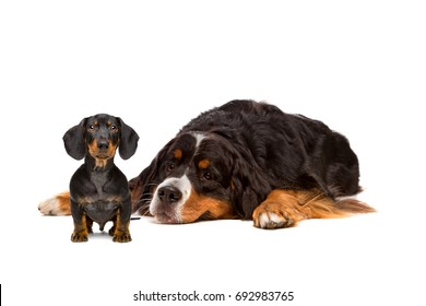Dachshund and Bernese dog in front of a white background