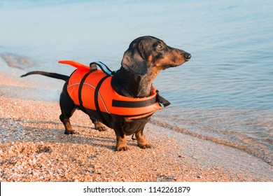 Dachshund breed dog, black and tan,  wearing orange life jacket while standing on beach at sea against the blue sky