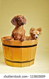 Dachshund and chihuahua