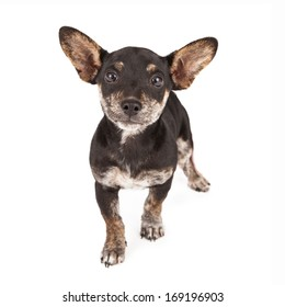 Dachshund and Chihuahua mixed breed dog standing against a white backdrop